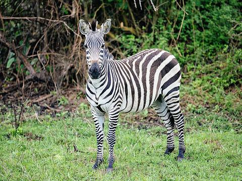 Rwanda - Zebra Adult.JPG
