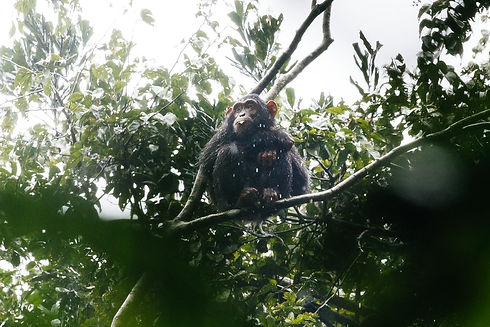 Uganda - Ngamba Chimpanzee Sanctuary.JPG