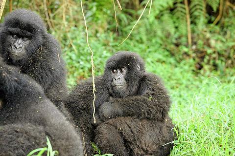 Rwanda - Mountain Gorilla Family.JPG