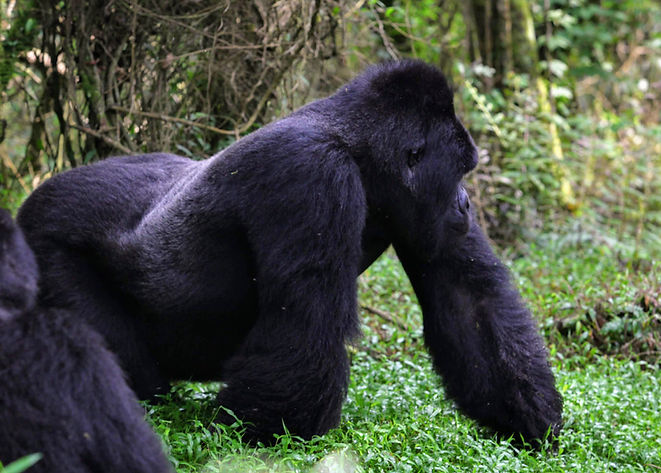 Uganda - Silverback on the prowl.JPG