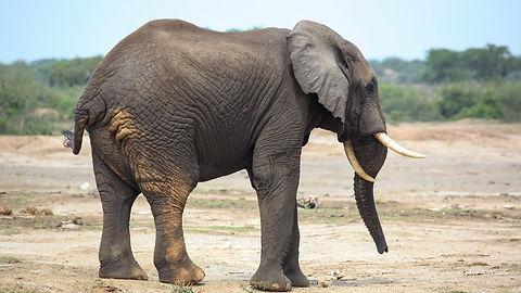 Rwanda - Lone Elephant.jpg