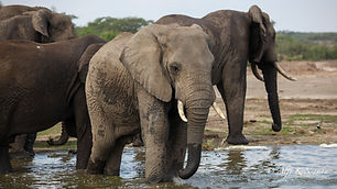 Uganda Elephant - Domestic Tourism.jpg