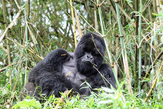 Rwanda - Giant Silverback Gorilla.JPG