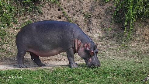 Uganda - Hippo Grazing .jpg