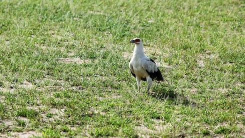Uganda - Palm Nut Vulture.JPG
