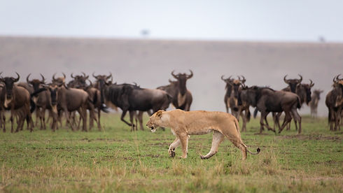 Tanzania - Great Migration - Lion Huntin