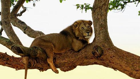 Uganda - tree climbing lion.jpg