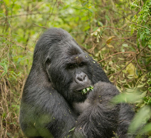 Uganda - Silverback Munching Leaves.jpg