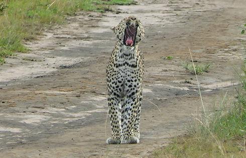 Uganda - Leopard Yawning.JPG