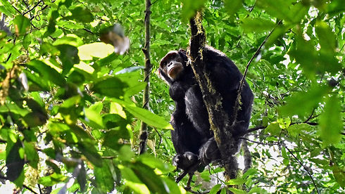 Uganda - Chimpanzee in tree.jpg