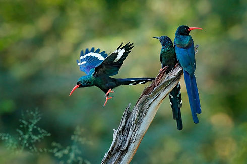 Uganda - Green Wood Hoopoe (1).jpg