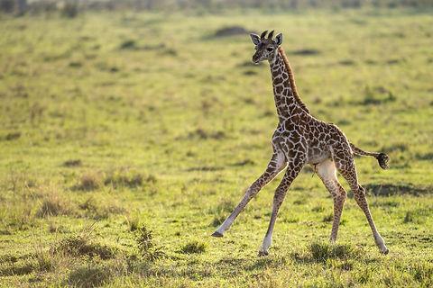 Rwanda - Giraffe in Akagera National Par