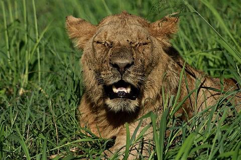 Rwanda - Lion with eyes closed.jpg