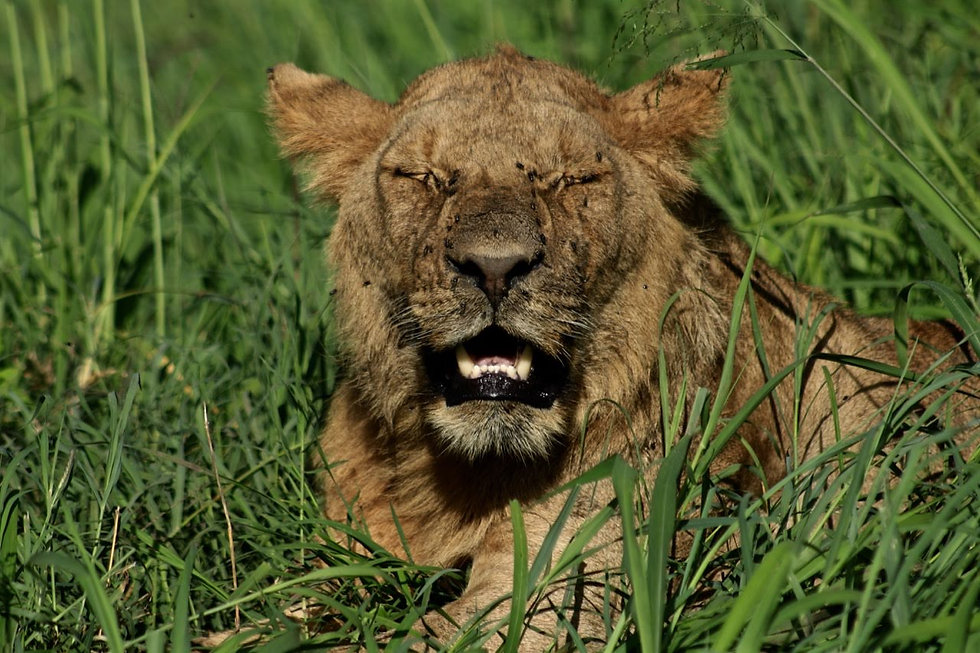 Rwanda - Lion with eyes closed.jpg