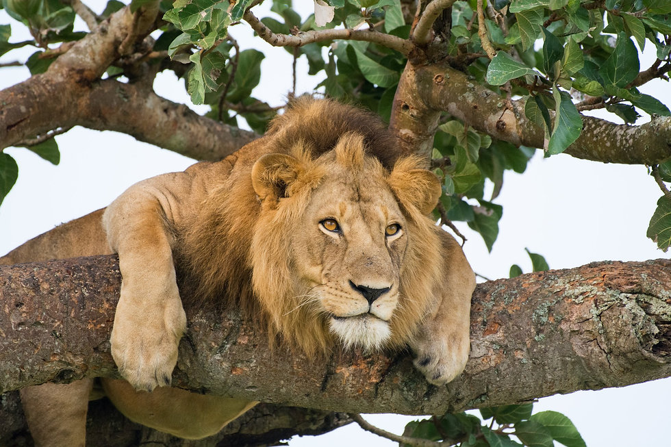Uganda - Male Tree Climbing Lion (1).jpg