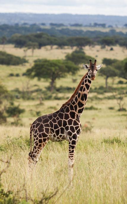 Uganda - Giraffe in Murchison Falls Nati