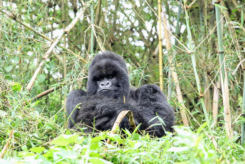 Uganda - Hirwa Silverback.JPG