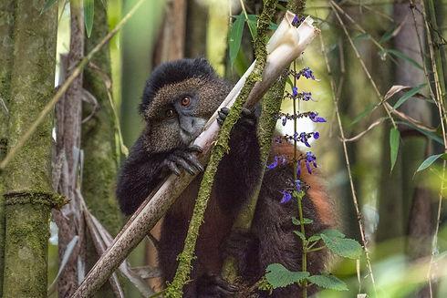 Golden Monkey 2.jpg