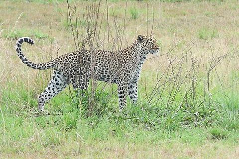 Rwanda  - Leopard Standing Proud.jpg