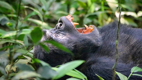 Uganda - Chimpanzee Yawning.jpg