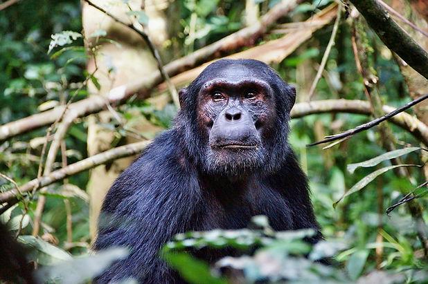 Uganda - Male Chimpanzee  (1).jpg