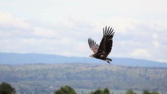 Uganda - Vulture in flight.JPG