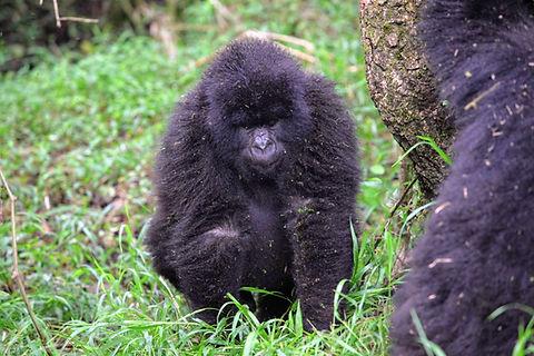 Rwanda - Baby Gorilla Walking.JPG