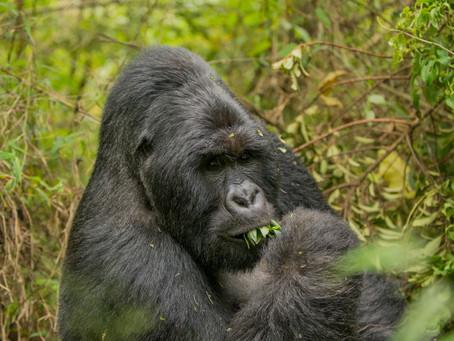 Gorilla and Chimpanzee permit prices cut