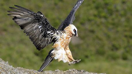 Uganda - Bearded Vulture (1).jpg