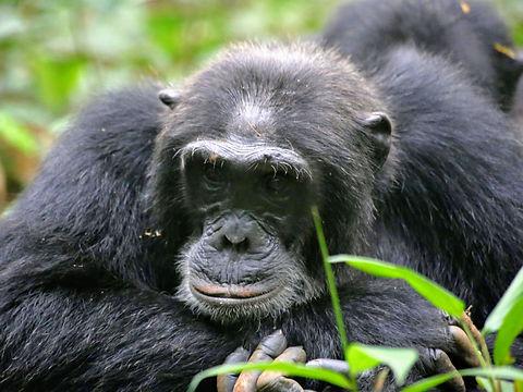 Rwanda - Chimpanzee thinking.JPG