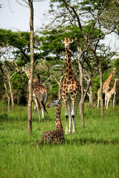 Uganda - Giraffe in Kidepo National Park