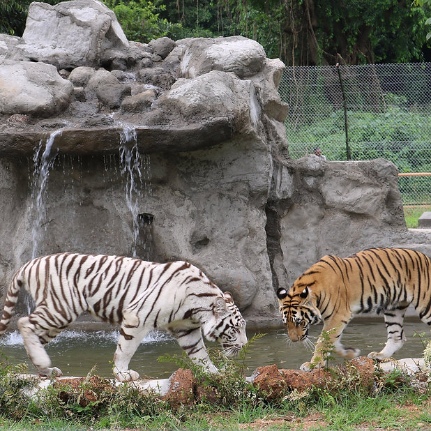 Tigers in the Pearl.jpg