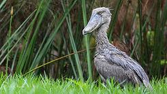 Uganda - Young Shoebill Stork.jpg