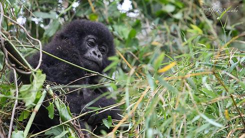 Uganda - Baby Gorilla in a tree.JPG