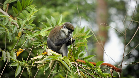 Rwanda - Red Tailed Monkey Eating.JPG