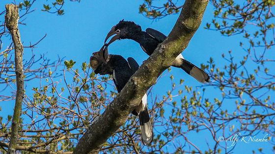 Rwanda - Black and White Hornbill.jpg