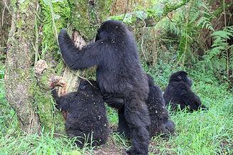 Rwanda - Gorilla Trekking Family in Rwan