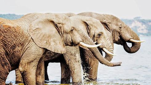 Uganda - Elephants Drinking on the Kazin
