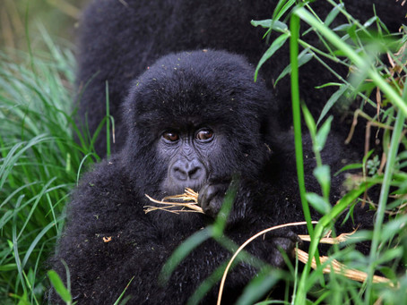 Gorilla Trekking - During and Post COVID-19