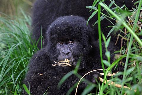 Rwanda Baby Gorilla.JPG