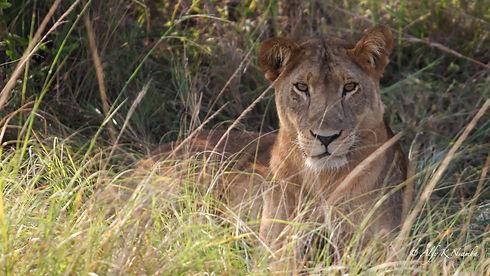 Uganda - Lion Stare.jpg