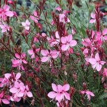Gaura, Whirling Butterfly
