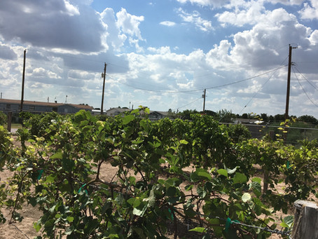 Growing Grapes in West Texas
