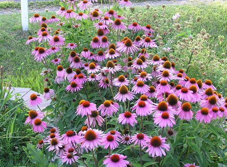 Coneflower- An Herbal Remedy
