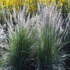 Lindheimeimeri's Muhly Grass