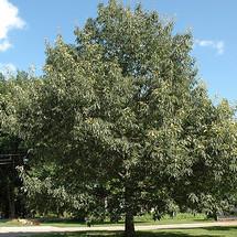 L Chinkapin Oak