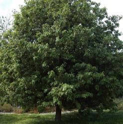 L Monterrey Oak