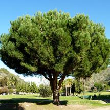 L Italian Stone Pine