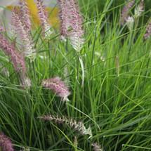 Little Hamlin Grass