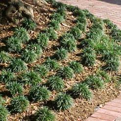 Mondograss